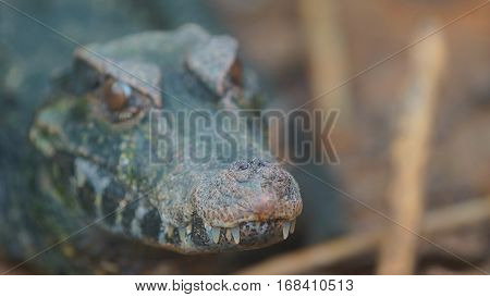 Narrow-snouted Spectacled Caiman, Focus on the tip of the snout. Common names: Caiman de anteojos. Scientific name: Paleosuchus trigonatus