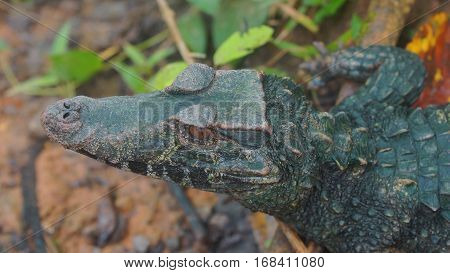 Top view of Narrow-snouted Spectacled Caiman. Common names: Caiman de anteojos. Scientific name: Paleosuchus trigonatus