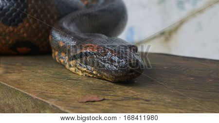Approach to the head of the Anaconda on a wooden log. Scientific name: Eunectes murinus