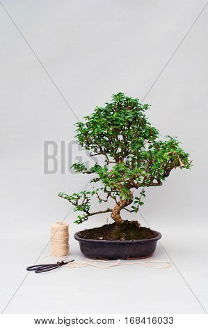 Young bonsai in a clay pot on a plain gray background. Houseplant bonsai on a simple background.