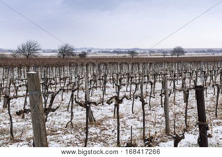 Vineyard In Cold Winter Day With Snow Covered Vines