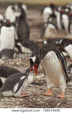 Gentoo Penguin (Pygoscelis papua) regurgitating food to feed its chick on Bleaker Island in the Falkland Islands