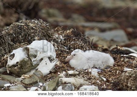 Chick of a Southern Giant Petrel (Macronectes giganteus) in a nest on a shingle beach on Bleaker Island in the Falkland Islands.