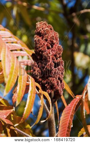 Colorful leaves and flower on a sumac plant during the autumn season