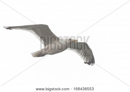 A seagull soaring in the white sky