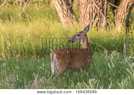 a whitetail deer doe in a field in summer