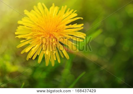 Yellow flower dandelion in spring bloom outdoors in nature.Macro shot of dandelion flower.