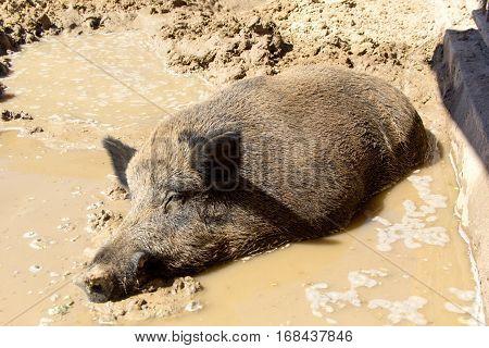 wild boar sleeping in the mud, pig