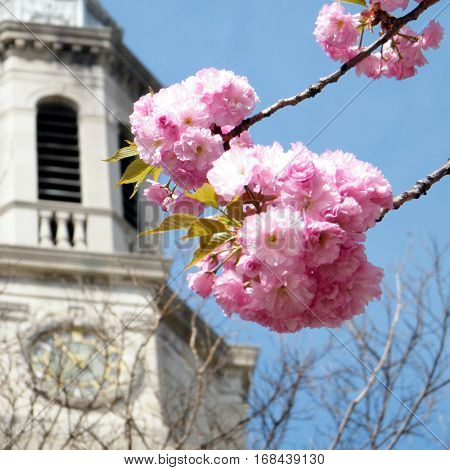 Sakura and Presbyterian Church in Washington USA April 7 2010