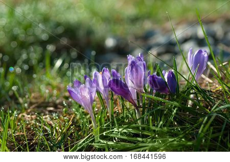 Purple crocus flowers blooming on spring meadow with drops of dew in bokeh. Easter photo with copyspace