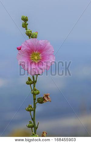 Closeup Pink Hollyhock(Alcea Rosea) with blue sky
