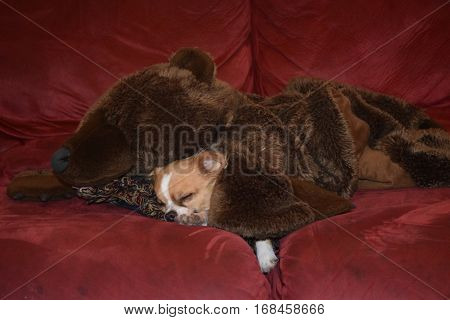 a dog sleeps in a grizzly bear blanket on a sofa