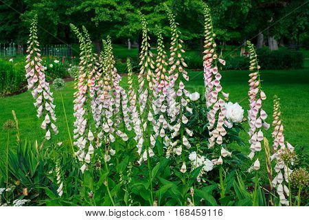 Foxgloves flowering in the perennial border.