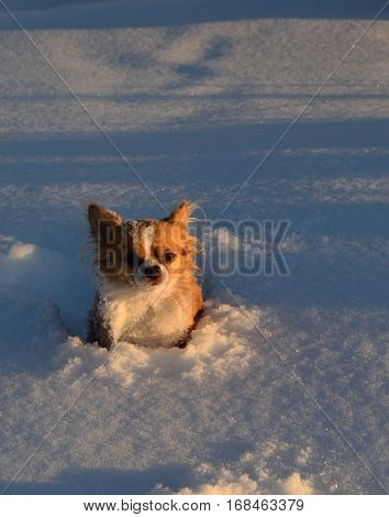 a dog looks into the camera while sitting in snow