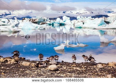 The pack of Icelandic geese is grazed on the bank of lagoon. Sunrise illuminates the glacier Vatnajokull and water of Ice Lagoon Jokulsarlon. The concept of northern ecotourism