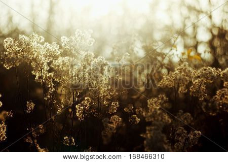 Beautiful Natural Amazing Soft White And Brown Herbs And Plants In Sunlight On The Background Of Sun