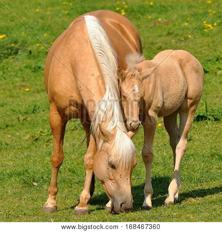 young foal with mum on pasture here in Czech republic