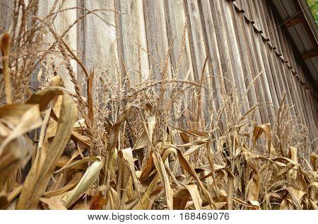 Dry Corn stalks leaning on old barn