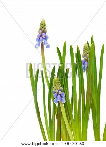 Bluebells flower (Grape Hyacinth Muscari armeniacum), isolated on white background
