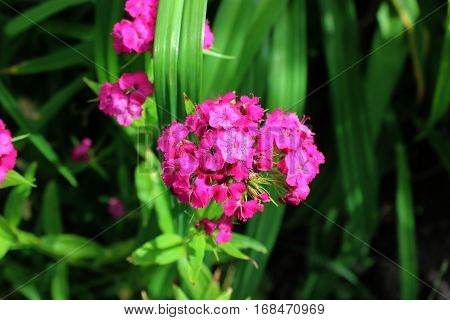 Small pink garden carnations in greenery growing in garden. Carnations flowers in sunshine.