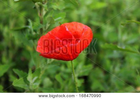 Bright red wild poppy flower on the green background. Opening poppy flower in blossom.