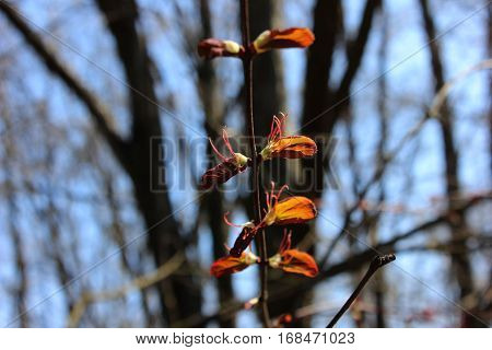 Young spring leaves expanding to sun. Small red spring leaves on tree branch against pale  blue sky.