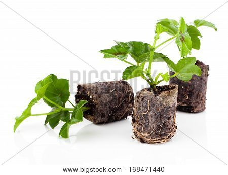 Geranium with roots ready to plant, isolated on white background