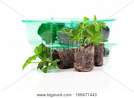 Geranium with roots ready to plant  isolated on white background