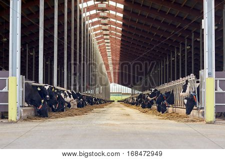agriculture industry, farming and animal husbandry concept - herd of cows eating hay in cowshed on dairy farm