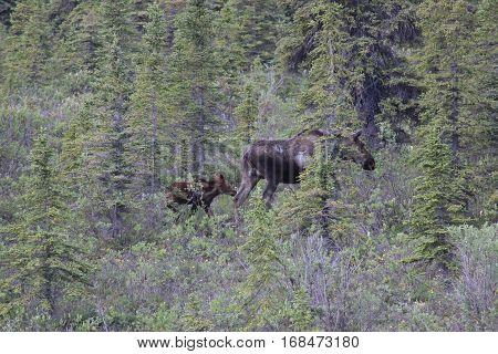 Mama moose and baby moose in Alaska