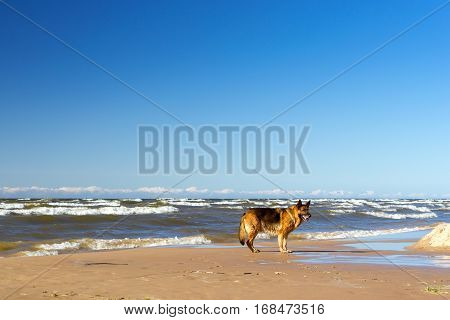 German shepherd run along shore of Finnish Gulf in Estonian sea resort Narva-Joesuu. Purebred dog on sunny summer walk. Seaside sandy beach is washed by cold waves Narva Bay