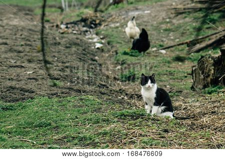 Group Of Chickens And Cat In Farm Land, Spring Time, Agriculture Concept