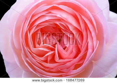 Close-up Beautiful pink rose flower isolated on black background