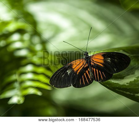 Butterfly sitting in the green leaves, Indonesia, Asia. Wildlife scene from  forest.