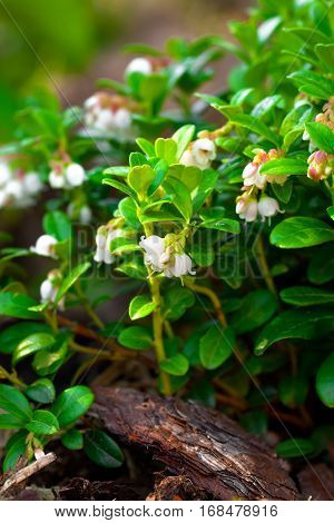 close up of Cowberry flowering. Plant flowers