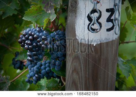 Bolgheri, Tuscany - Processing Of The Vineyards