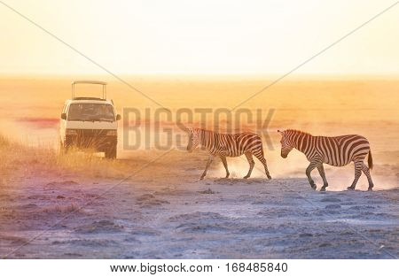 Tourists in safari jeep taking photos of zebras walking at African savannah at sunset
