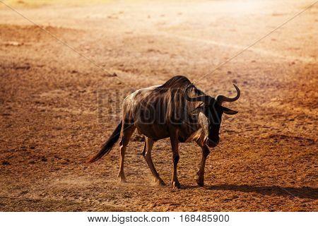 Blue wildebeest walking along at lifeless Kenyan savanna, Africa