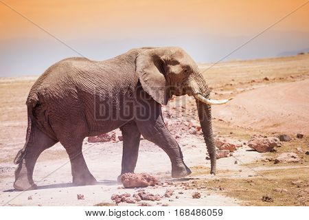 Majestic African elephant with huge ivories walking in the savannah of Kenya