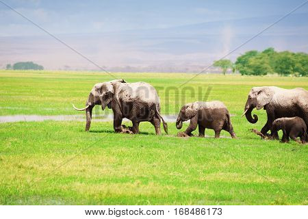 Elephant family walking together in cloudy day in Kenyan swamplands, Africa