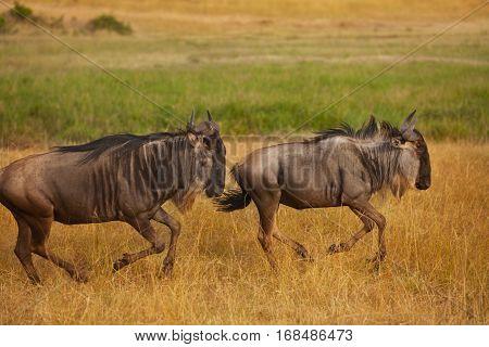 Pair of blue wildebeests galloping at Kenyan savanna, South Africa