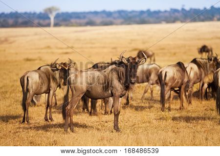 A big herd of blue wildebeest walking across the dry dusty plains of Kenya, South Africa
