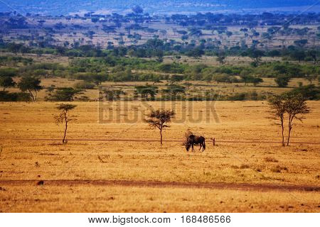 Landscape with wildebeest pasturing alone on dry grass and green trees in the background