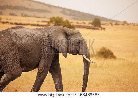 Side view portrait of female Bush Elephant walking in Kenyan savannah
