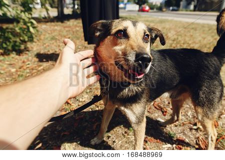 Hand Of Man Caress Little Cute Brown Dog From Shelter In Belt Posing Outside In Sunny Park, Smiling,