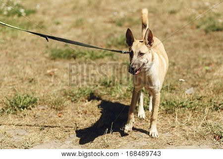 Big Brown Positive Dog From Shelter With Big Ears Posing Outside In Sunny Park, Adoption Concept