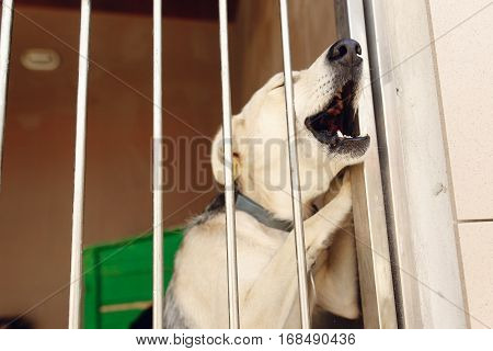 Labrador Puppy Howling Through Shelter Cage, Sad Emotional Moment, Adopt Me Concept, Space For Text
