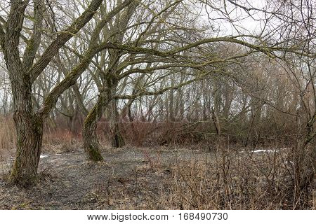Belarus Minsk region - March 7 2016 Dry and old trees after the winter pitched a branches like an arms sinister forest moss on the tree bark.