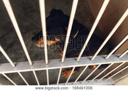 Cute Rotweiler Dog In Shelter Cage With Crying Eyes, Sad Emotional Moment, Adopt Me Concept, Space F