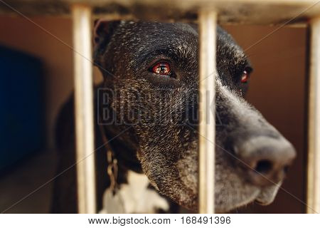 Cute Pitbul Dog In Shelter Cage With Sad Crying Eyes And Pointing Nose, Emotional Moment, Adopt Me C